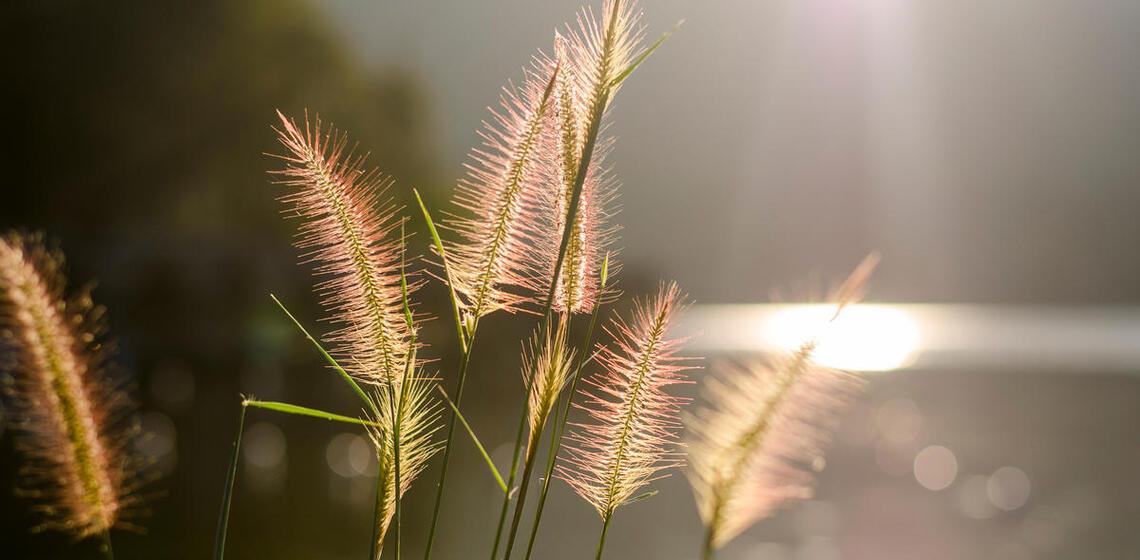 sunlight shining on pampas grass