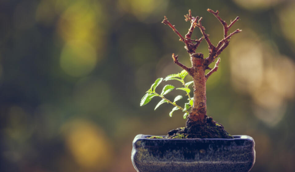 Dry bonsai tree trunk with fresh green sprigs over blurred natural background with copy space.